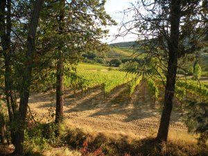 Tuscany vineyard near San Gimignano glowing in the October sun