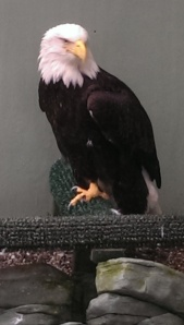 Bald eagle poses for a photo shoot