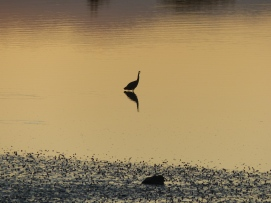 Wading bird outside the hotel