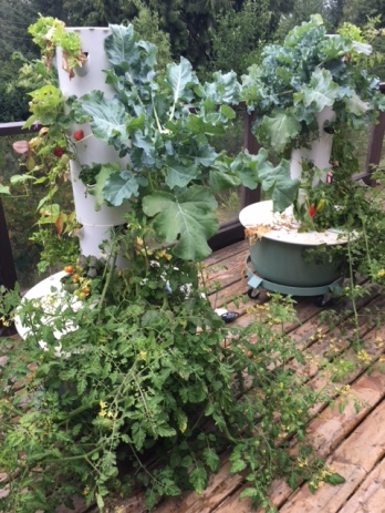 Broccoli growing in the tower garden